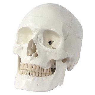 S24.2400 Cranio umano, Modello per lezioni di anatomia, 3 parti