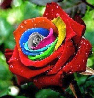 Recensioni dei clienti per Le piante esotiche Rose nei colori dell'arcobaleno - 10 semi | tripparia.it