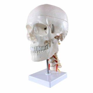 S24.2141 Cranio umano, Modello per le...