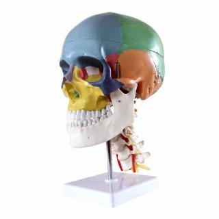 S24.2301 Cranio, modello didattico, s...