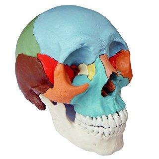 S24.2165 Cranio scomponibile, versione didattica, in 22 parti (Cranio modello, colore)